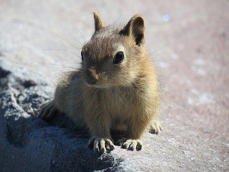 Rodent, Mammal, Cute, Animal World, Nature, Mount Hood