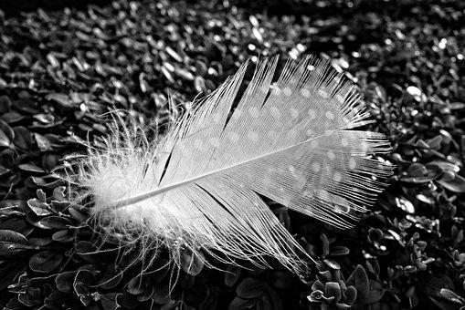 Feather, Down, Bird, Plumage, White Feather, Quill