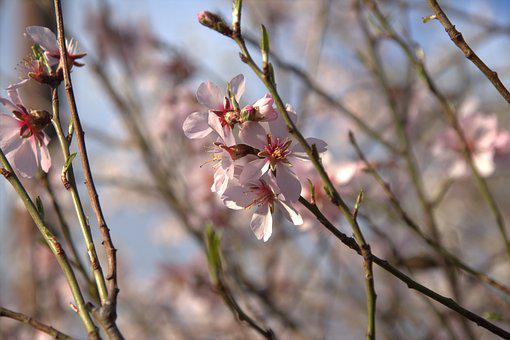 Flower, Plant, Nature, Almond, Inflorescences