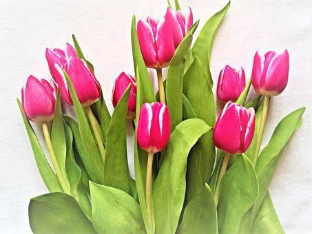 Tulips, Flowers, Tulip Bouquet, Cut Flowers