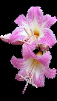 Belladonna, Lily, Cut Out, Flower