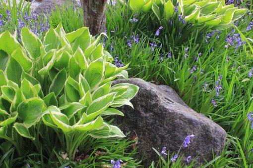 Flora, Leaf, Nature, Flower, Grass, Hosta, Bluebells