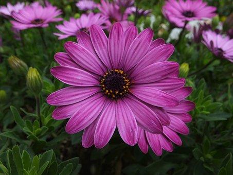 Flowers, Flora, Perennial, Cape Marguerite, Nature
