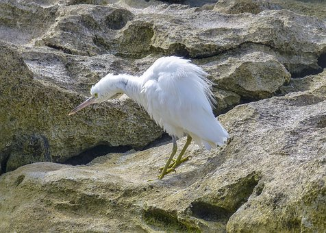 Bird, Egret, White, Nature, Wildlife, Animal, Rocks