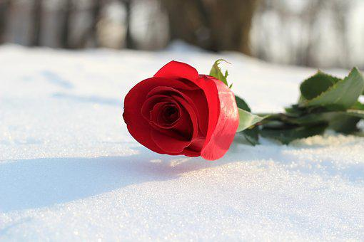 Red Rose In Snow, Love Symbol, Romance, Winter, Frozen