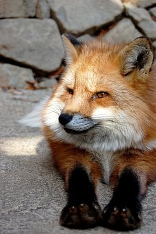 Mammal, Fox, Animal, 犬科, Carnivores, Natural, Zoo