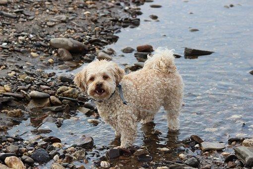 Animal, Cute, Mammal, Dog, Poodle, Lure, White, Water