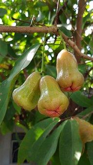 Rose Apples, Syzygium, Tropical, Fruit, Nature, Food