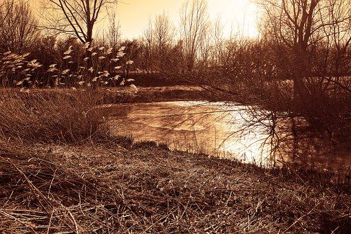 Pond, Reed, Plumes, Fragmites Australis, Rush