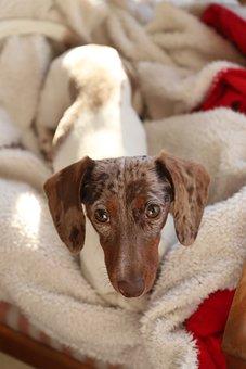 Dog, Cute, Mammal, Puppy, Pet, Young, Fur, Indoor