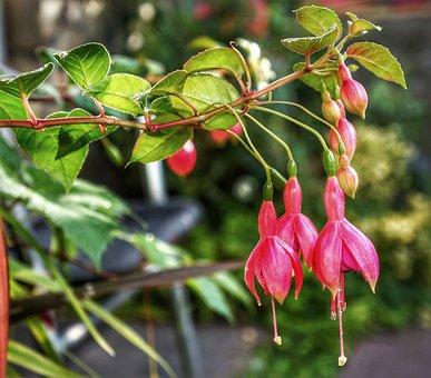 Fuchsia, Red, Hanging, Small, Tree, Scrub, Garden