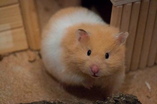 Cute, Small, Goldhamster, Medium-hamster, Curiosity