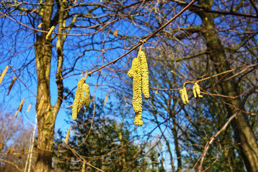 Catkin, Male Catkin, Flower, Male, Hazel