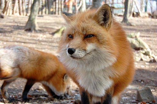 Mammal, 犬科, Fox, Animal, Also Very