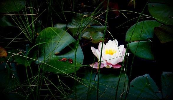 The Divine Consciousness, Pond, Nature, Flowers