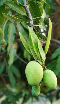 Mango, Tree, Young, Growing, Fruit, Nature, Food, Leaf