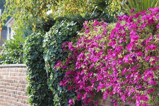 Garden, Flower, Plant, Nature, Summer, Wall Ivy