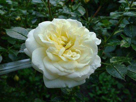 Rose, Flower, Nature, Plant, Garden, White, Blooming