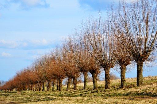 Pollard, Willow, Pollarded Willow, Bare Trees, Winter