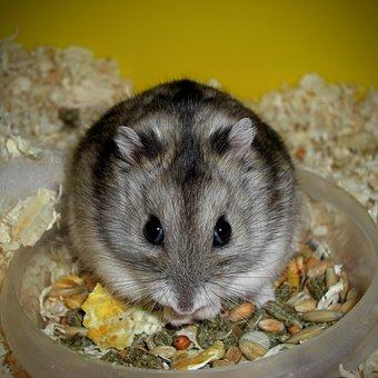 Rodent, Cute, Animal, Mammal, Rat, Hamster, Hungry, Pet