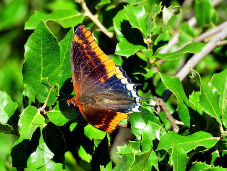 Strawberry Tree Butterfly, Charaxes Jasius