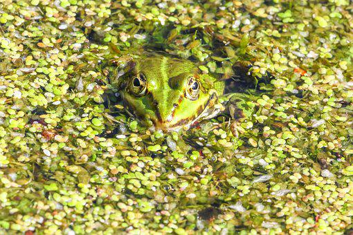 Frog, Amphibian, Nature, Waters, Plant, Green, Toad