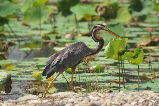 Bird, Nature, Wildlife, Water, Animal, Wild, Outdoors