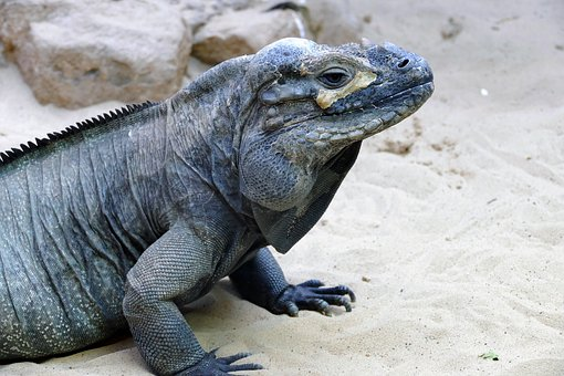 Iguana, Reptile, Lizard, Animal, Nature, Wildlife, Wild