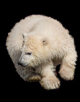Polar Bear, Wild Animal, Isolated, Predator, Zoo