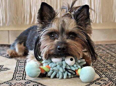 Yorkie, Dog, Cute, Eyes, Is Watching