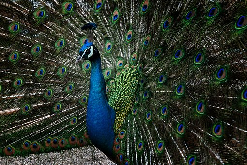 Peacock, Feather, Bird, Tail, Majestic, Green Blue