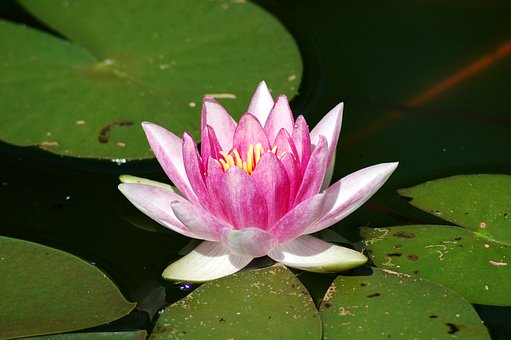 Lotus, Aquatic, Lily, Flower, Water Lily, Plant, Leaf