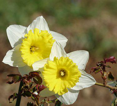 Flower, The Pin Daffodils