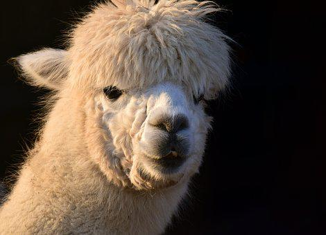 Alpaca, Animal, White, Female, Fluffy, Fur, Head, Eyes