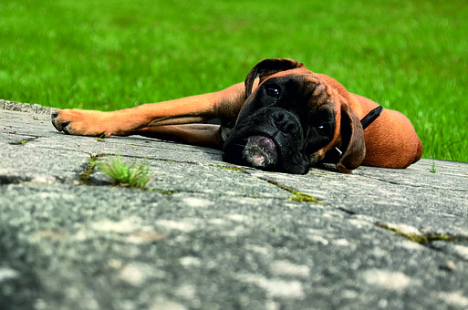 Nature, A, Human, Summer, Grass, Young, Resting, Boxer