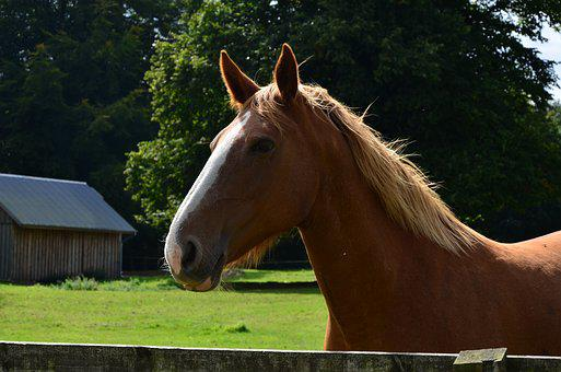 Animal, Farm, Horse, Grass, Stallion, Equestrian