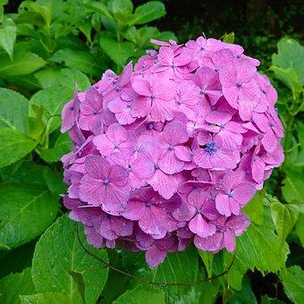 Hydrangea, Flowers, Flowering, Leaf, Pink, Green, Shrub