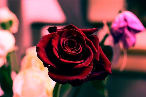 Flower, Rosa, Petal, Love