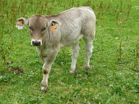 Lawn, Mammal, Animal, Prairie, Veal, Aragon
