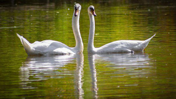 Swans, Male And Female Swans, Graceful, Reflection