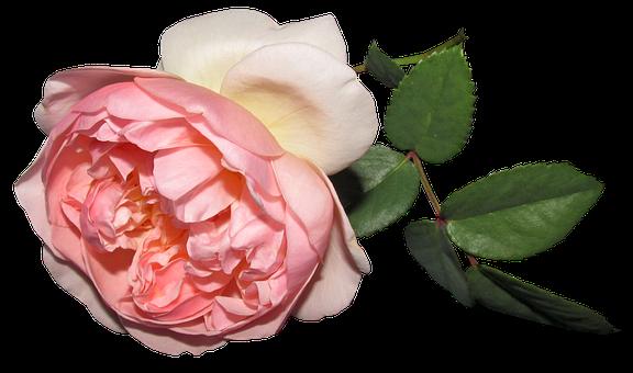 Flower, Rose, Summer, Cut Out