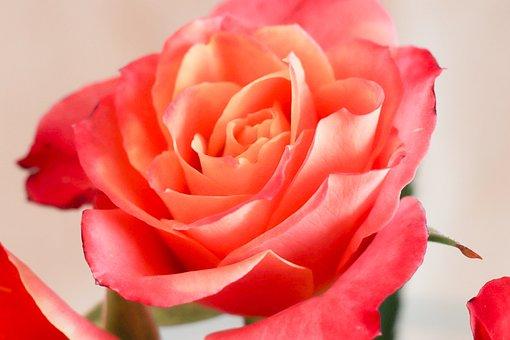 Flower, Rose, Petal, Nature, Plant, Love, Give, Sheet