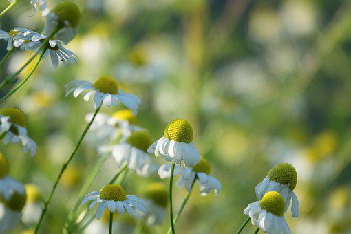 Nature, Plant, Flower, Summer, Growth, Chamomile, Green