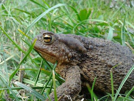 Amphibian, Land Frog, Toad, Nature, Animals, Grey