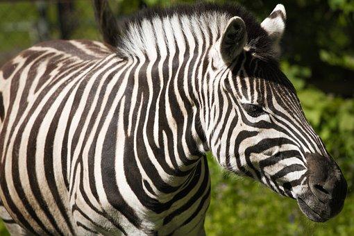 Zebra, Animal World, Nature, Ungulate, Animal