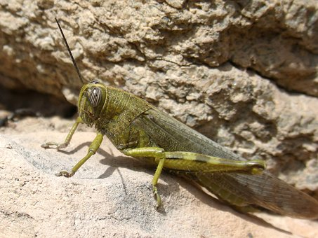 Grasshopper, Lobster, Nature, Animalia, Insect
