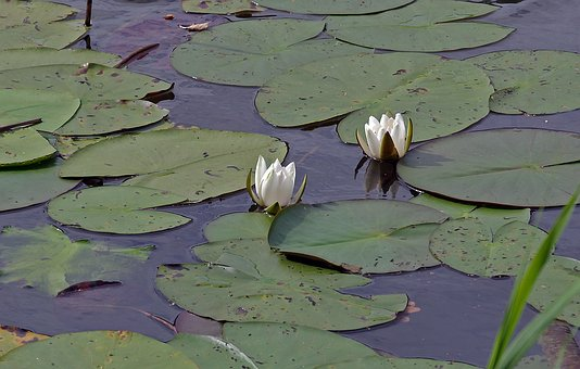 Water Lilies, Waters, Lake, Nature, Aquatic Plant