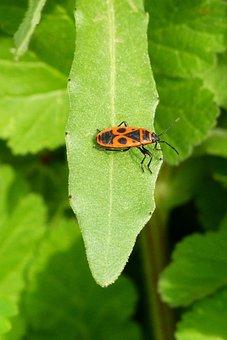 Bug, Pyrrhocoris Apterus, Insect, Nature, Leaf, Plant