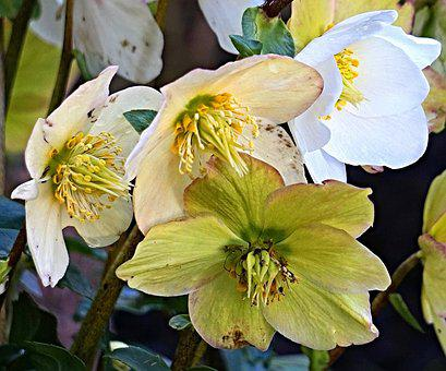 Christmas Rose, Flower, Nature, Plant, Garden, Flowers