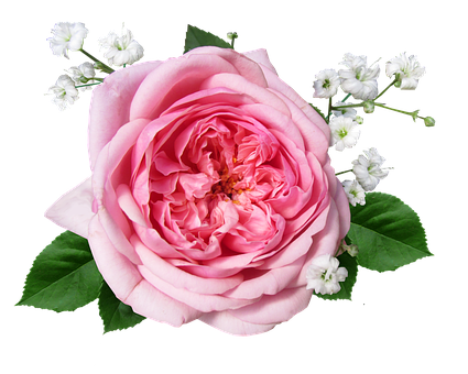 Flower, Rose, Pink, Cut Out, Romance